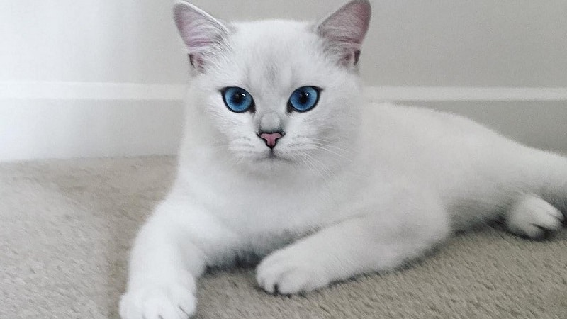 Красивые пушистые и гладкошерстные породы белых кошек с голубыми глазами