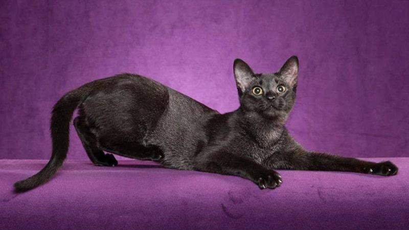 Самые красивые породы черных кошек: описание и фото