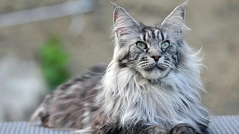 ТОП-20 лучших пушистых пород кошек и советы по уходу за ними
