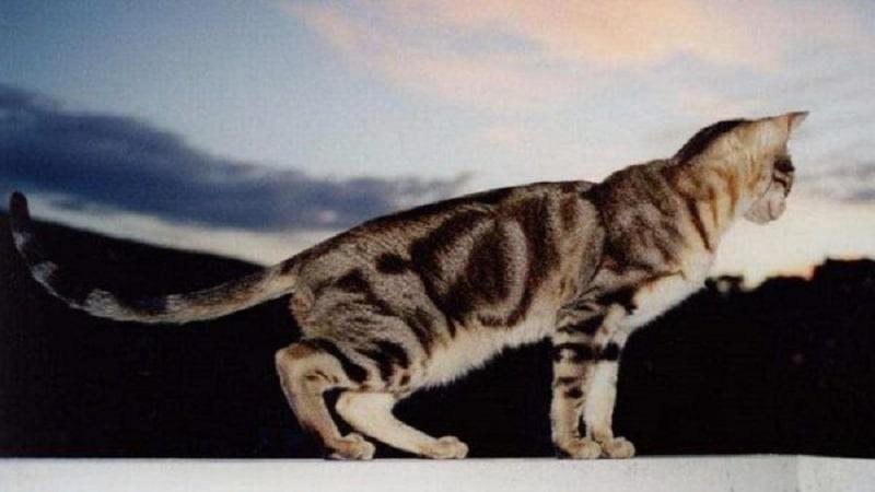 Породы кошек похожих на тигра