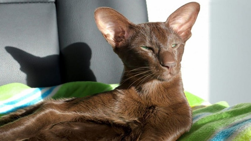 котята шоколадного окраса порода