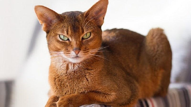 порода кошек шоколадного окраса с фотографиями