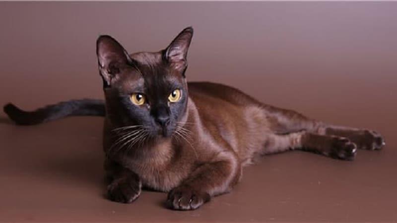 шоколадный окрас кошек какая порода