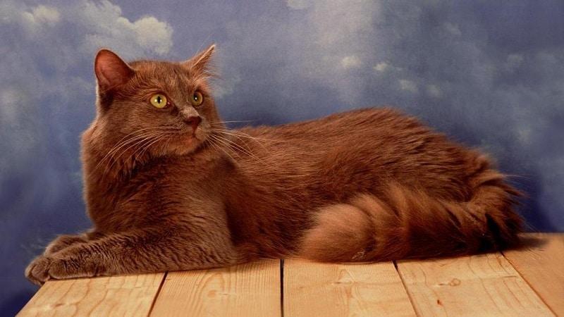 породы кошек шоколадного окраса фото с названиями