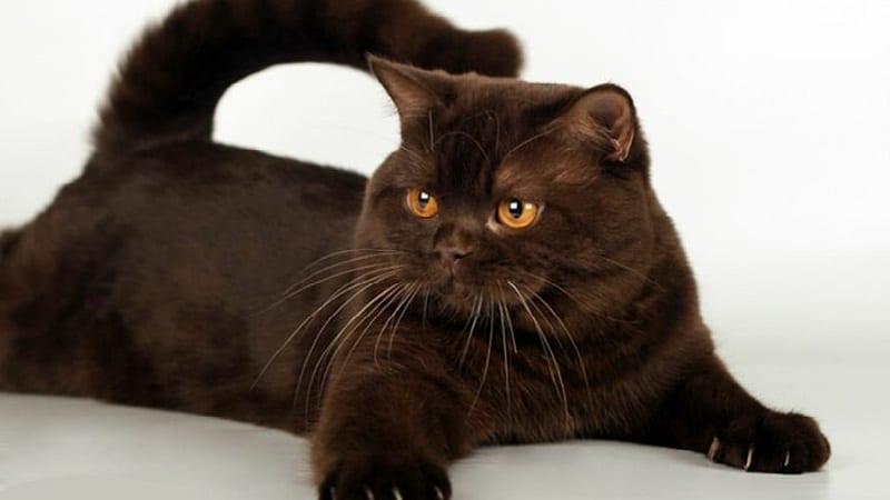 кошки шоколадного окраса порода