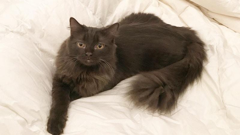 коричневые кошки порода