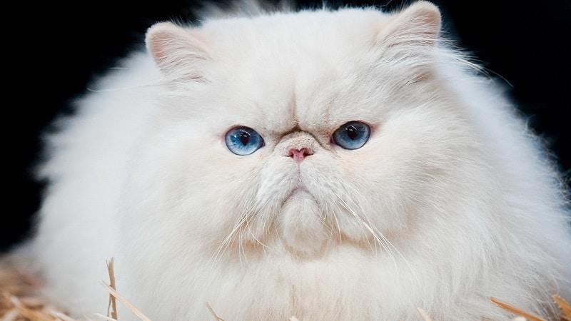 персы кошки