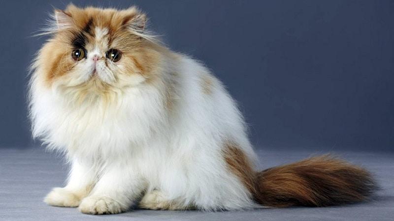 как выглядит персидская кошка