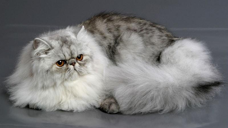 перс кот