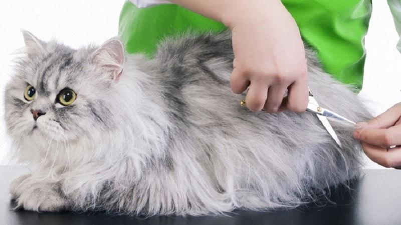 порода кошек перс