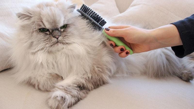 характер персидских котов