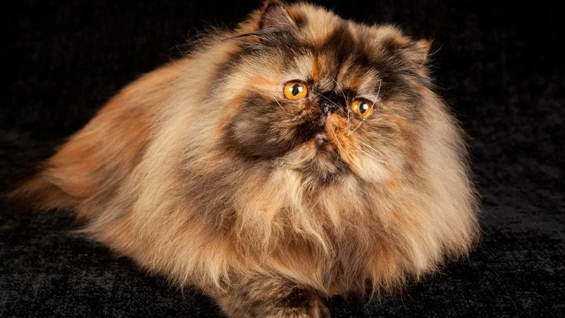 персидская кошка классическая