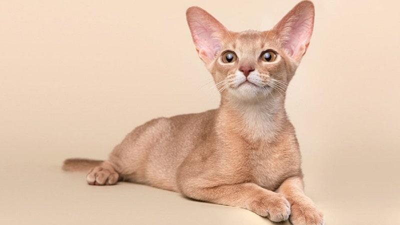 абиссинская кошка фавн