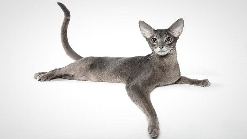 Абиссинская голубая кошка — интересные факты, уход и содержание