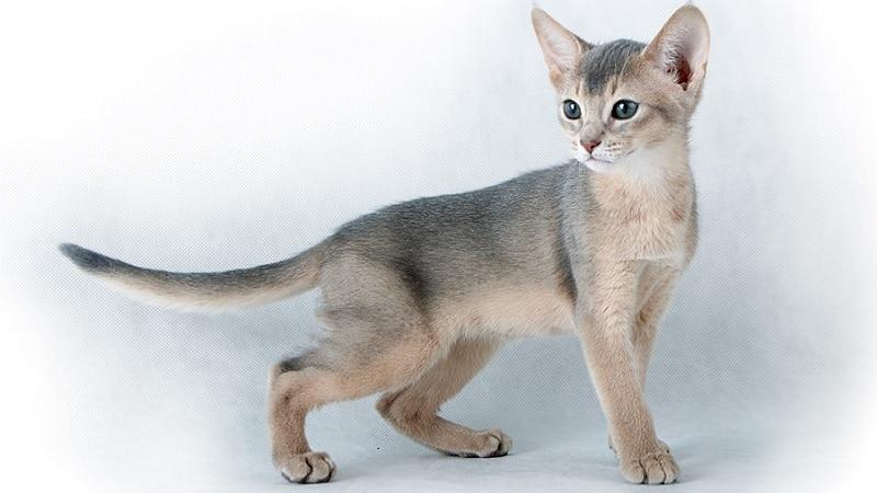 абиссинская кошка серая