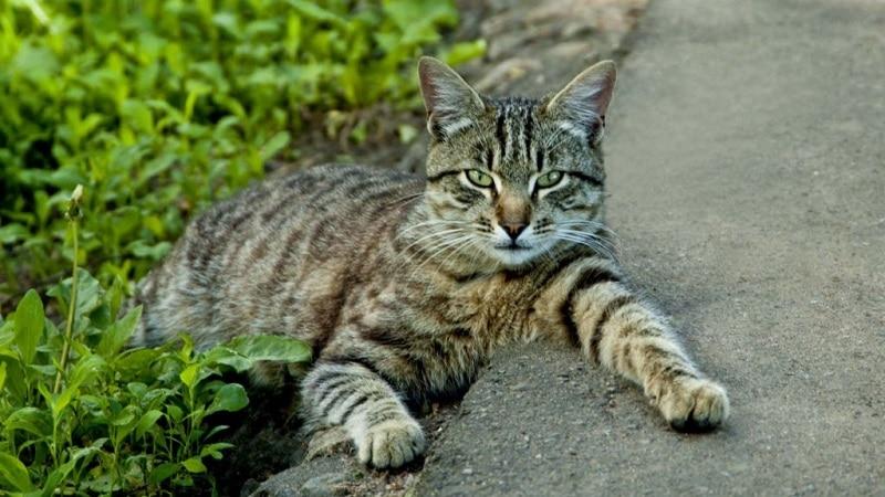 полосатая кошка какая порода