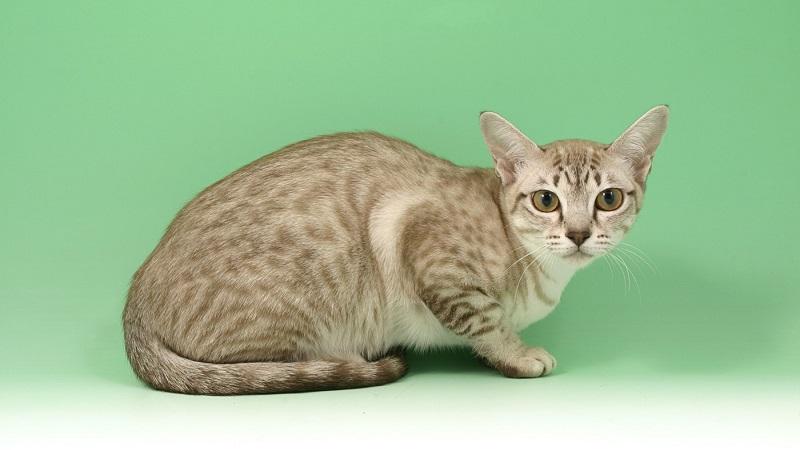 серая полосатая кошка порода