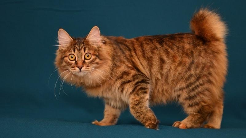 Топ-18 самых полосатых пород котов
