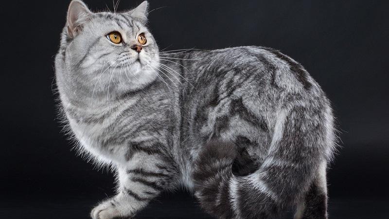 серый полосатый кот порода