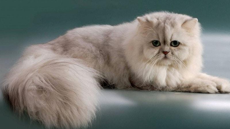 спокойные породы кошек для квартиры