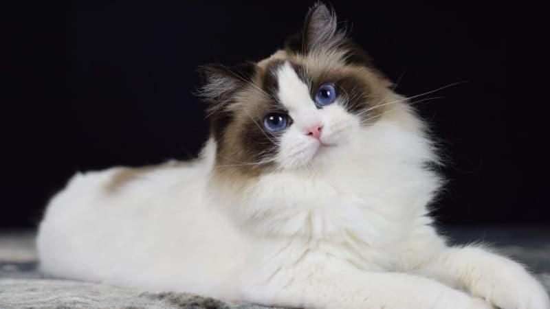 Топ-15 самых спокойных пород кошек — практические советы по выбору