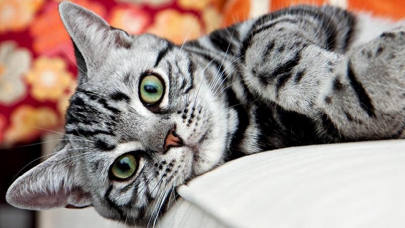 самая спокойная порода кошек