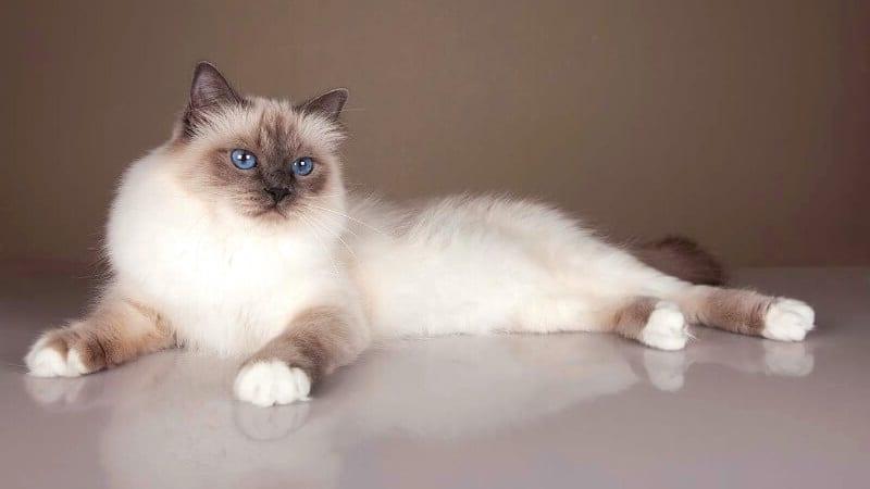 спокойные породы кошек