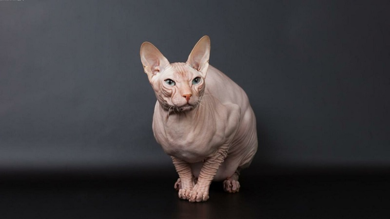 самые спокойные породы кошек для квартиры