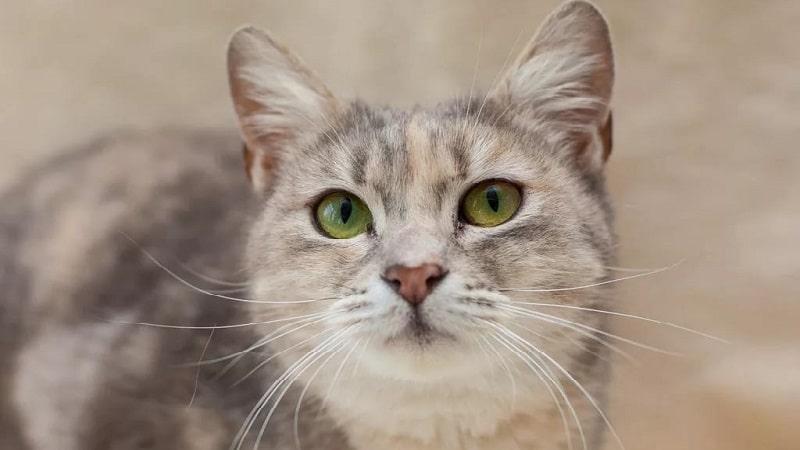 метис кошка