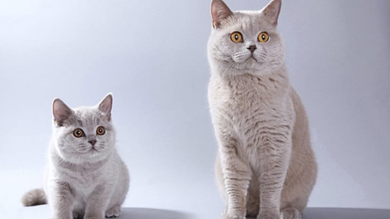 Выбираем кошку метиса — все, что нужно знать