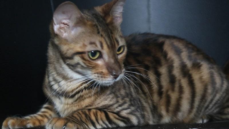 метис порода кошек