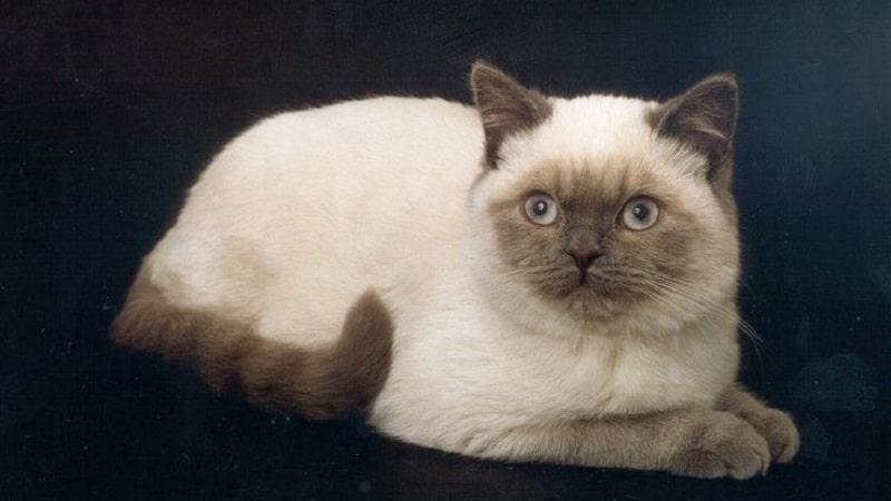 метис кот