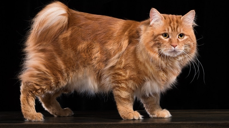 порода кошек бобтейл
