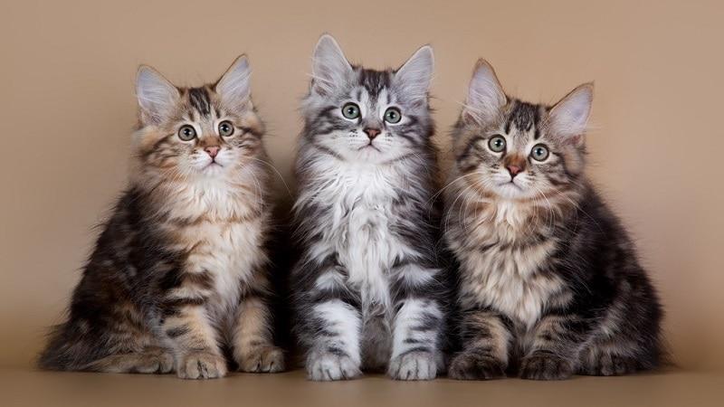 бобтейл кошка характеристика породы
