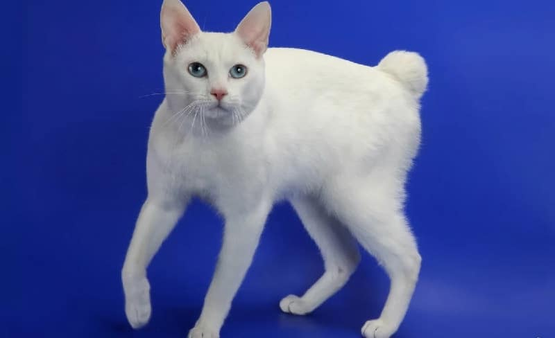 японский бобтейл кошка