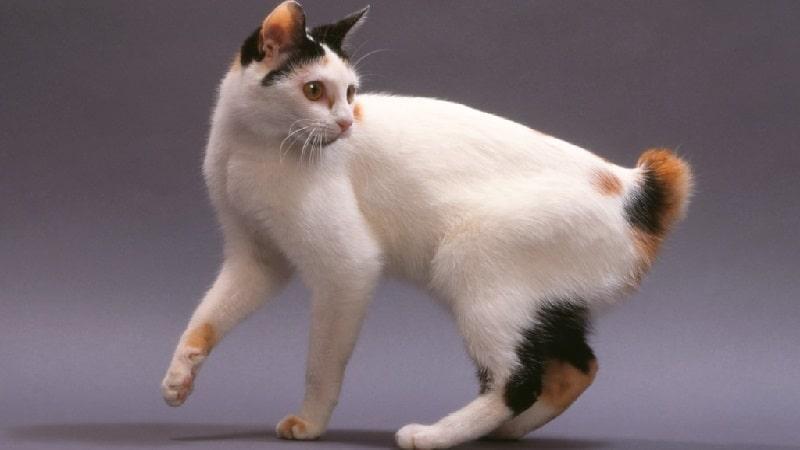 Особенности породы кошек японский бобтейл
