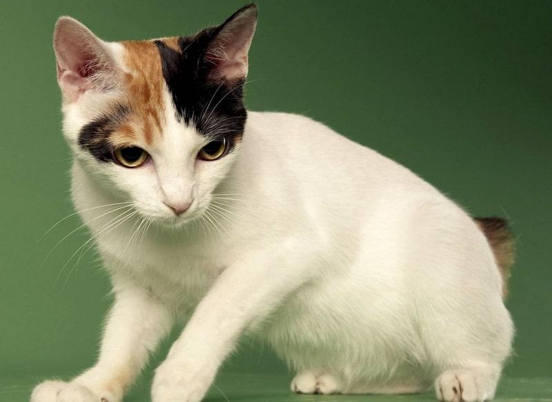 кот японский бобтейл