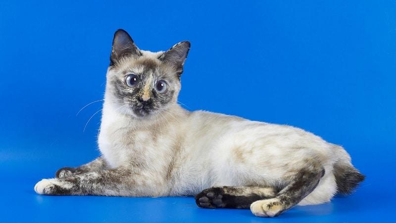 тайский бобтейл кошка