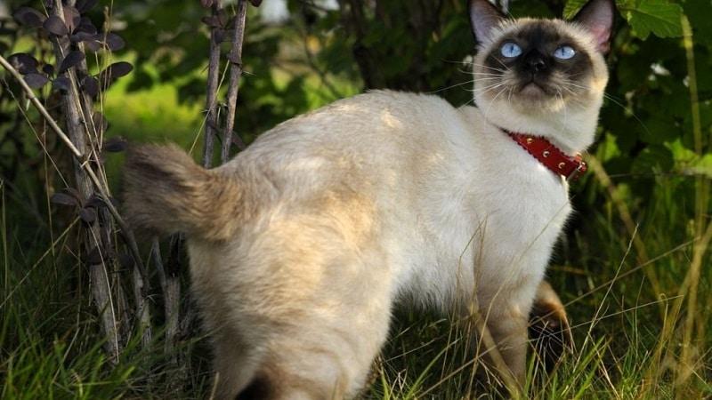 кошка бобтейл тайский бобтейл