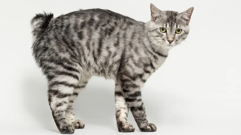 американский бобтейл кошки