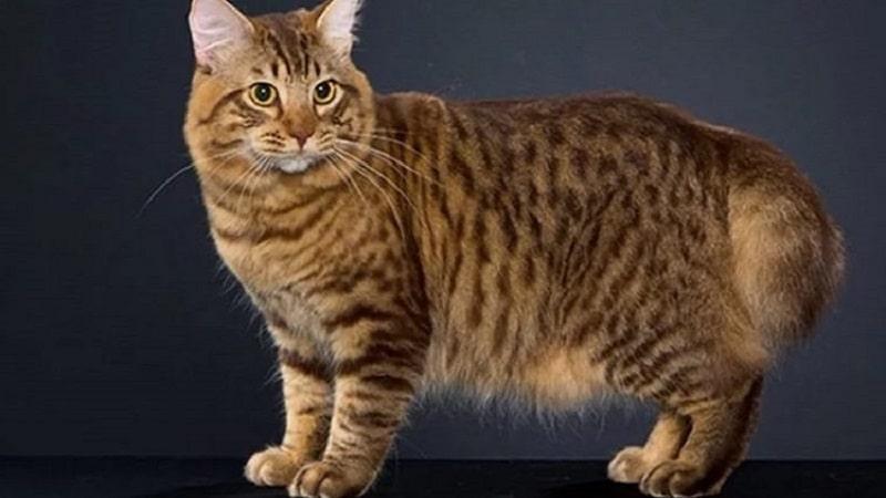 порода кошек бобтейл американский