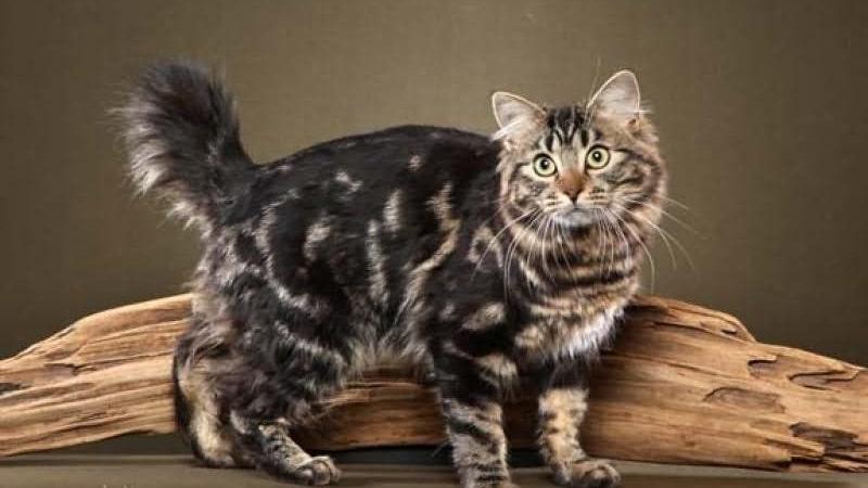 Порода кошек американский бобтейл