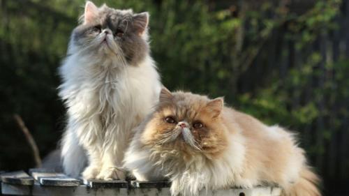 346746_персидская кошка 3