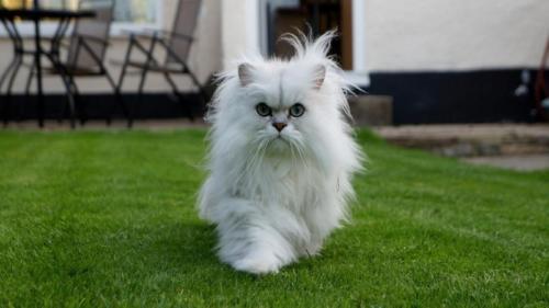 346748_персидская кошка 5