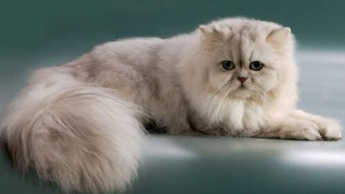 346753_персидская кошка 16