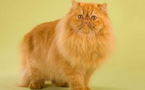 346753_персидская кошка 21