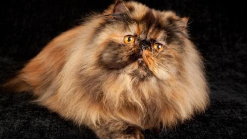 346753_персидская кошка 22