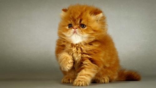 346753_персидская кошка 25