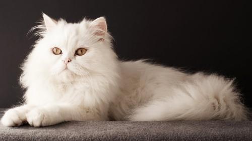 346753_персидская кошка 26